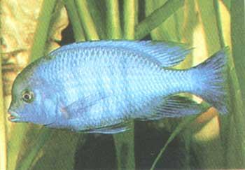 Голубой дельфин (Cyrtocara moorii Boulenger, 1922). обитает на глубинах...
