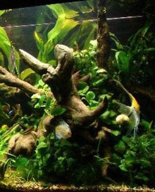 Аквариумные растения анубиасы фото